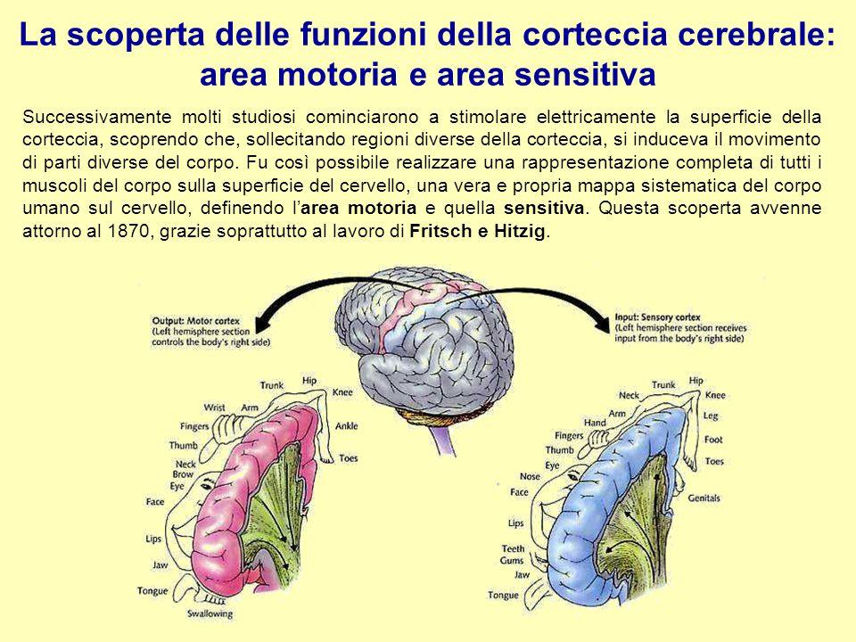 La scoperta delle funzioni della corteccia cerebrale: area motoria e area sensitiva Successivamente molti studiosi cominciarono a stimolare elettricam