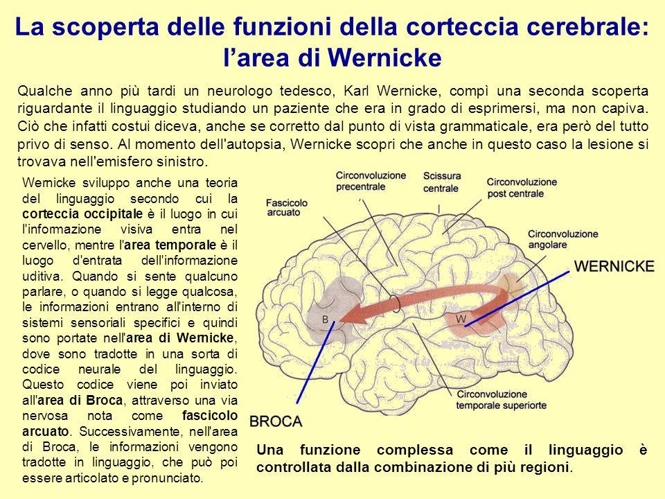 La scoperta delle funzioni della corteccia cerebrale: l'area di Wernicke Qualche anno più tardi un neurologo tedesco, Karl Wernicke, compì una seconda