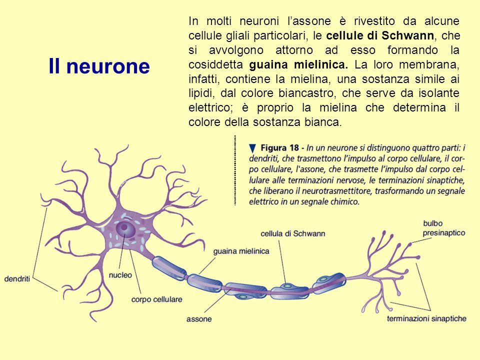 In molti neuroni l'assone è rivestito da alcune cellule gliali particolari, le cellule di Schwann, che si avvolgono attorno ad esso formando la cosidd