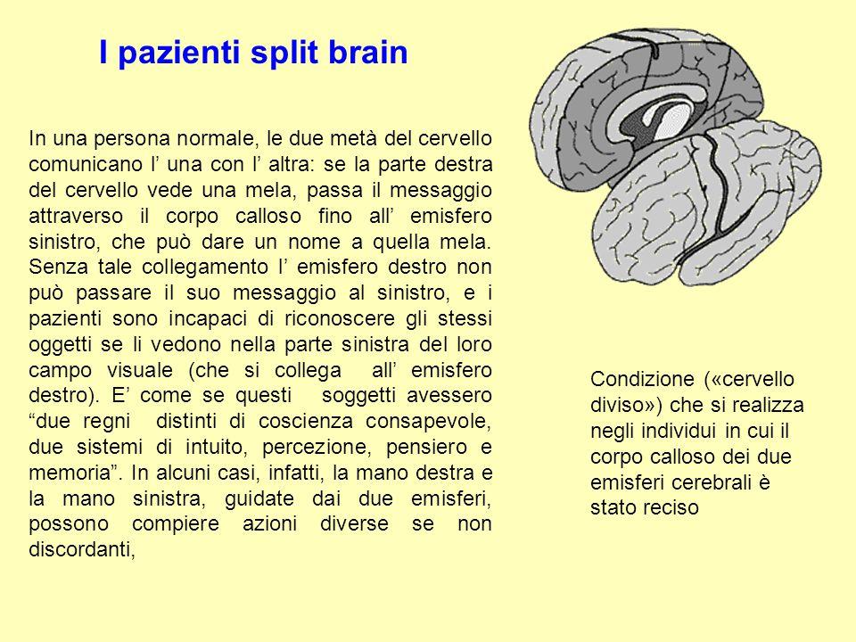 I pazienti split brain In una persona normale, le due metà del cervello comunicano l' una con l' altra: se la parte destra del cervello vede una mela,