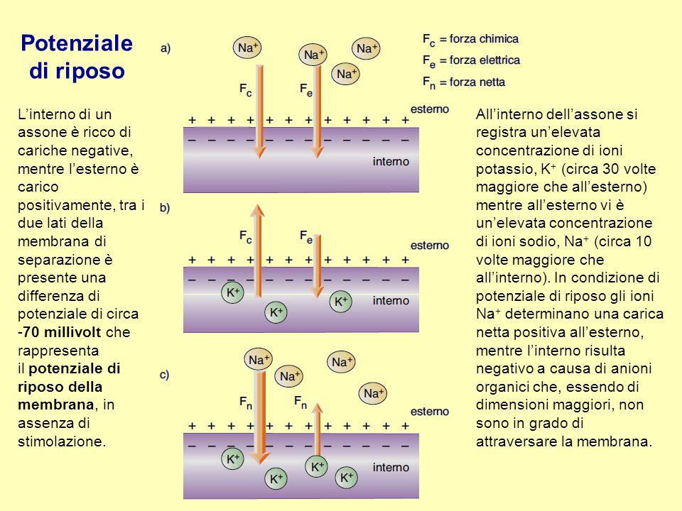 L'interno di un assone è ricco di cariche negative, mentre l'esterno è carico positivamente, tra i due lati della membrana di separazione è presente u