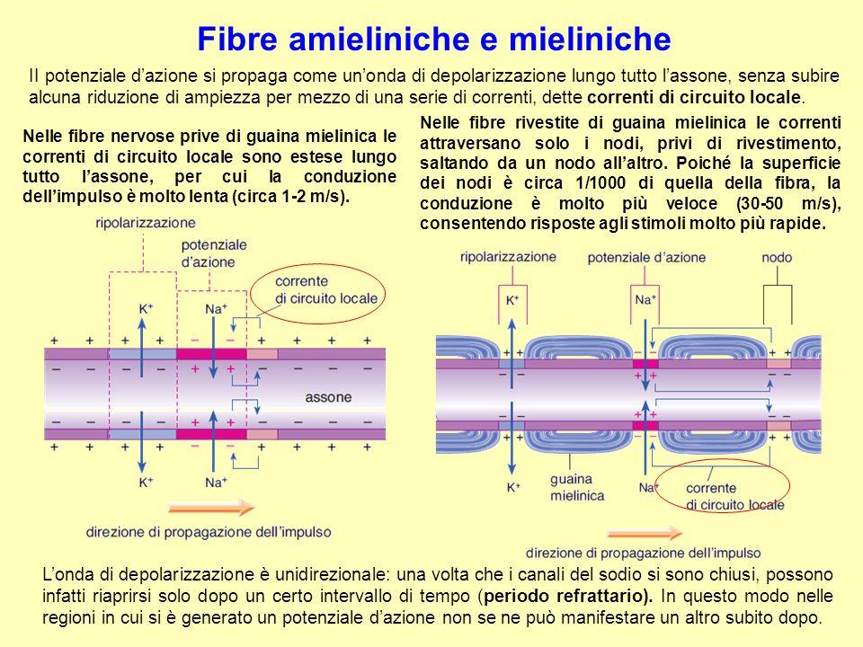 Fibre amieliniche e mieliniche L'onda di depolarizzazione è unidirezionale: una volta che i canali del sodio si sono chiusi, possono infatti riaprirsi