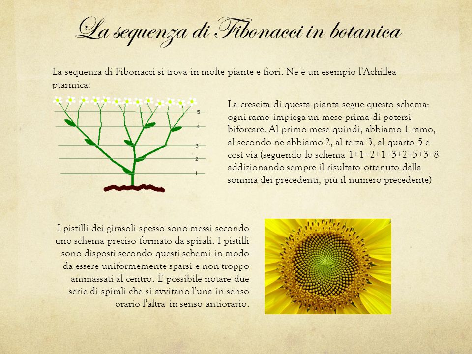 La sequenza di Fibonacci in botanica La sequenza di Fibonacci si trova in molte piante e fiori. Ne è un esempio l'Achillea ptarmica: La crescita di qu