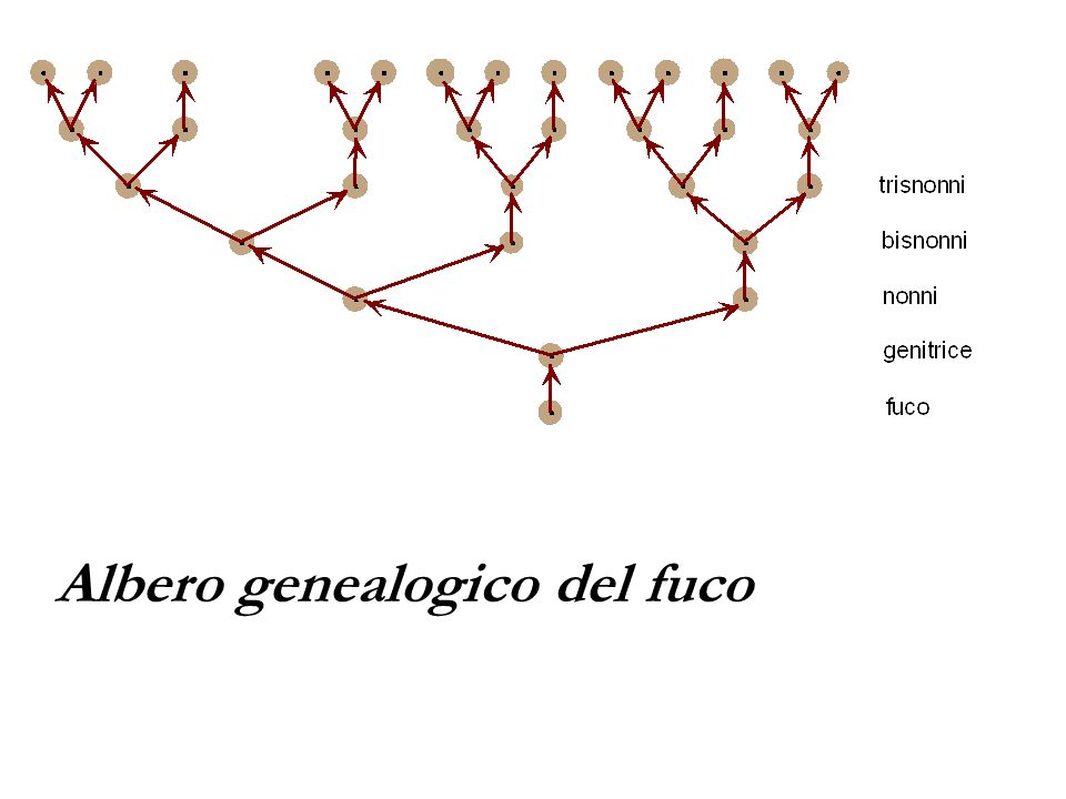 Albero genealogico del fuco