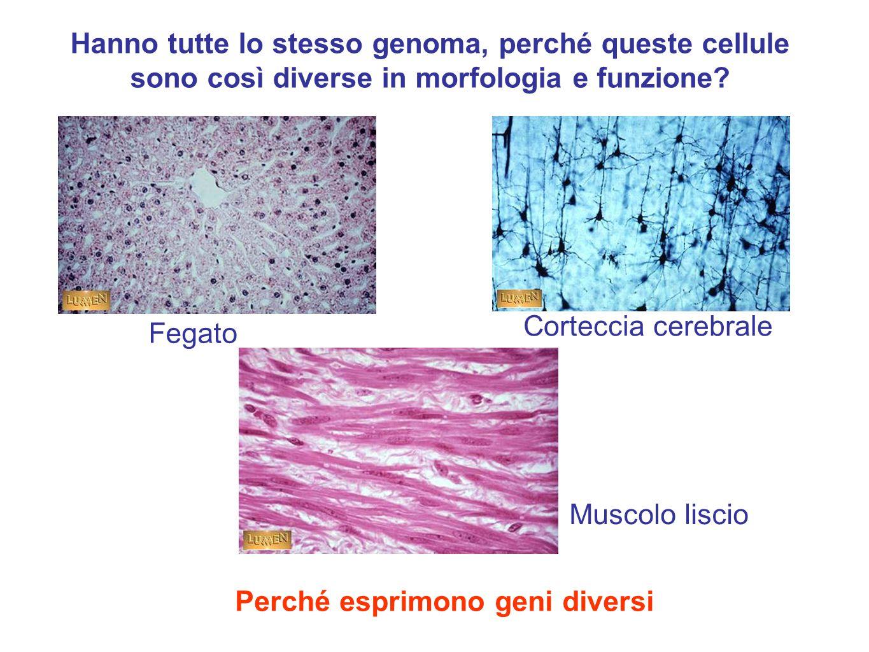 Fegato Corteccia cerebrale Muscolo liscio Hanno tutte lo stesso genoma, perché queste cellule sono così diverse in morfologia e funzione.