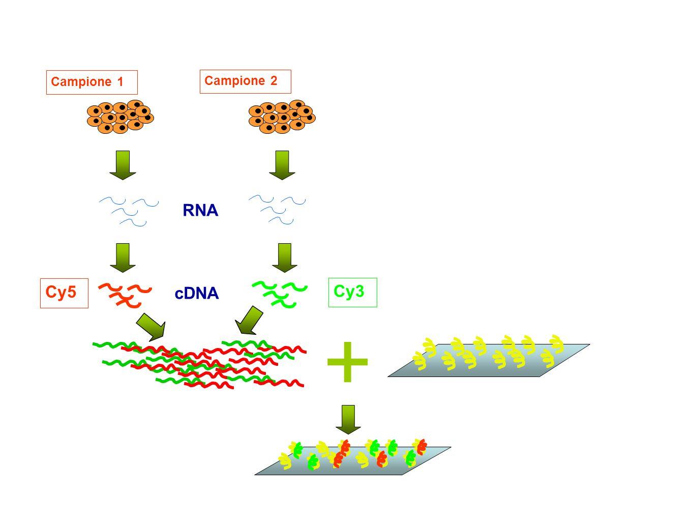 Campione 1 Campione 2 cDNA Cy3 Cy5 RNA +