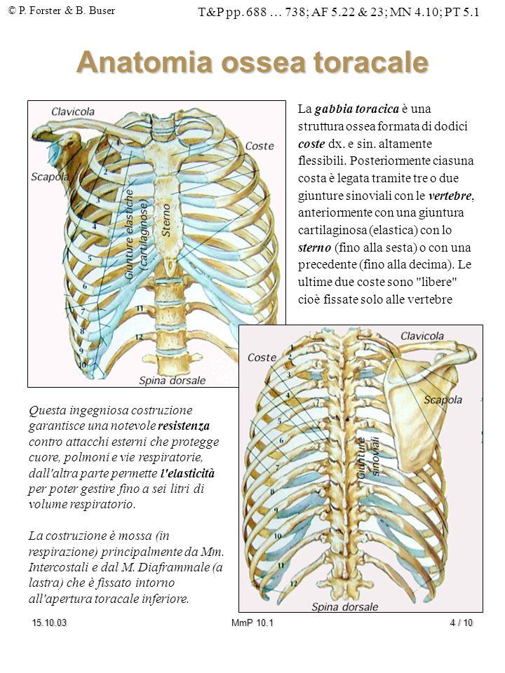 © P. Forster & B. Buser T&P pp. 688 … 738; AF 5.22 & 23; MN 4.10; PT 5.1 15.10.03MmP 10.14 / 10 Anatomia ossea toracale La gabbia toracica è una strut