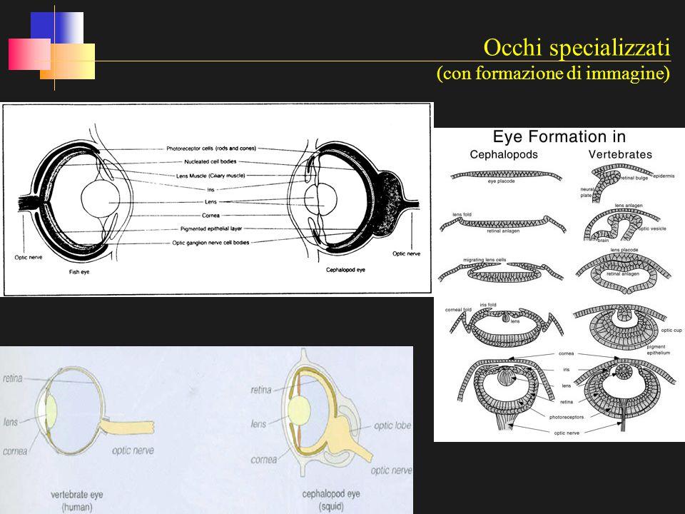 Occhi specializzati (con formazione di immagine)