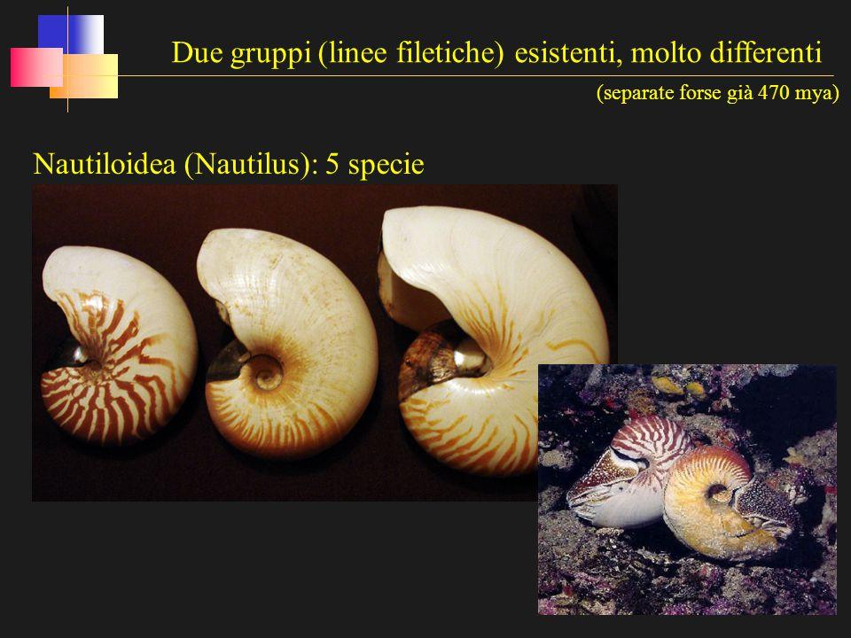 Coleoidea (seppie, calamari, polpi etc…: ca 700 specie) Due gruppi (linee filetiche) esistenti, molto differenti (separate forse già 470 mya)