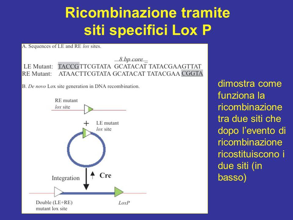Ricombinazione tramite siti specifici Lox P dimostra come funziona la ricombinazione tra due siti che dopo l'evento di ricombinazione ricostituiscono