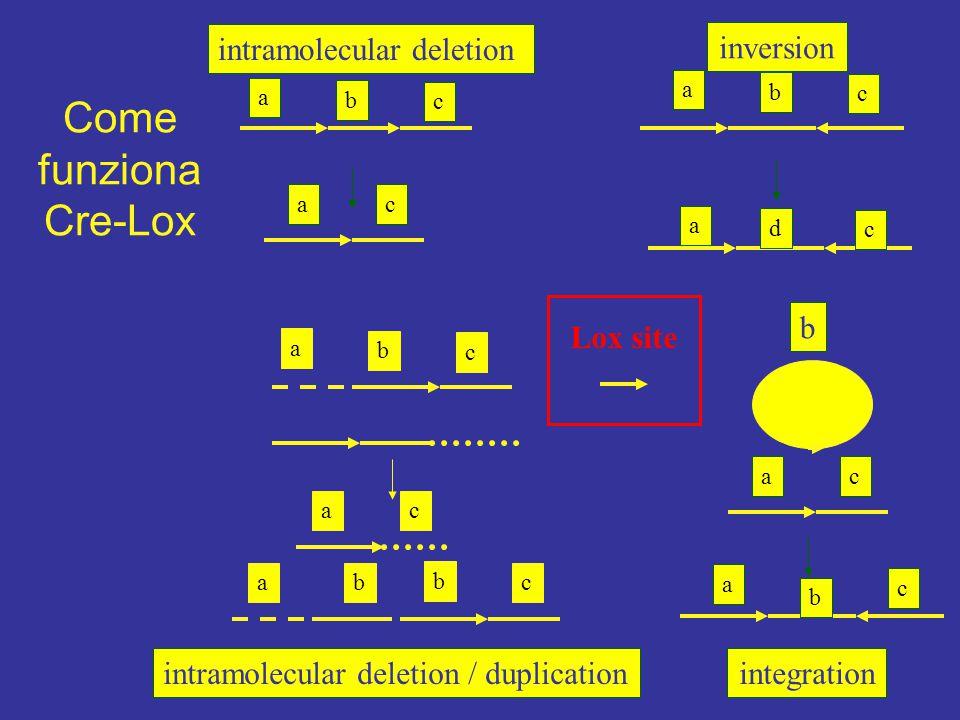 a b c ac intramolecular deletion a b c a d c inversion intramolecular deletion / duplication b cba a b c ac b ac a b c integration Lox site Come funzi