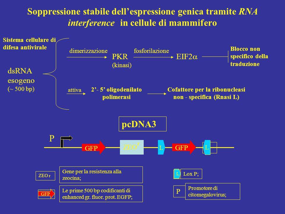 fosforilazione PKR (kinasi) EIF2  dimerizzazione Blocco non specifico della traduzione 2'- 5' oligodenilato polimerasi Cofattore per la ribonucleasi