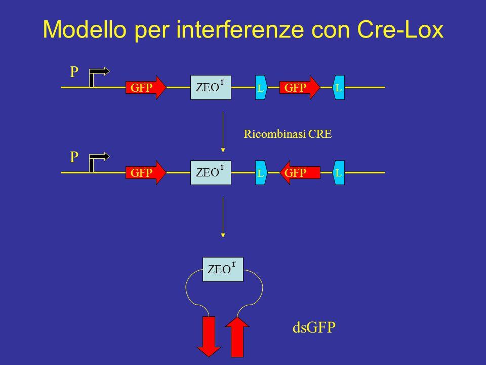 P GFP ZEO r L L P GFP ZEO r L L Ricombinasi CRE ZEO r dsGFP Modello per interferenze con Cre-Lox