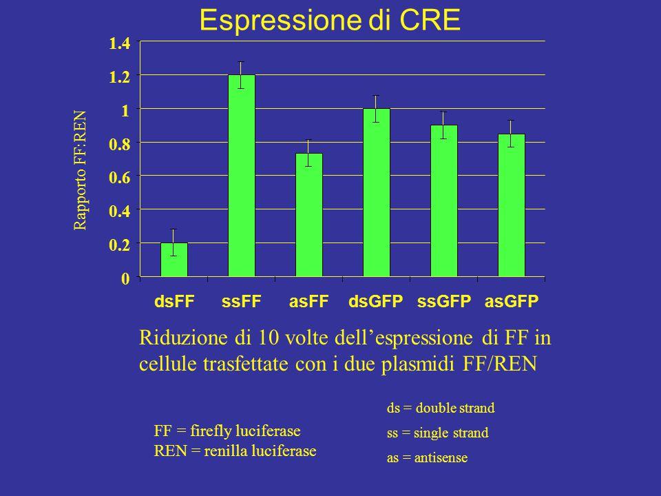 0 0.2 0.4 0.6 0.8 1 1.2 1.4 dsFFssFFasFFdsGFPssGFPasGFP Rapporto FF:REN Riduzione di 10 volte dell'espressione di FF in cellule trasfettate con i due