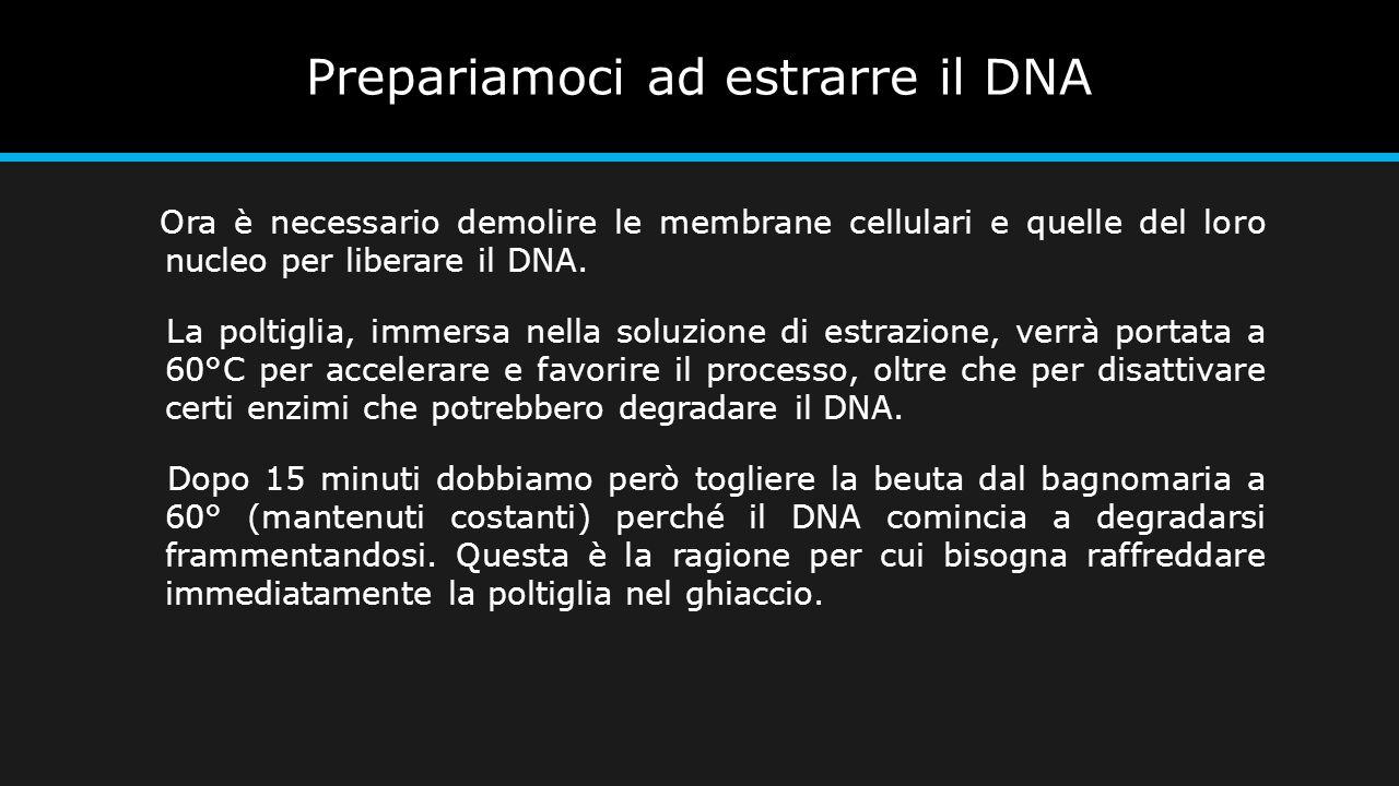 Prepariamoci ad estrarre il DNA Ora è necessario demolire le membrane cellulari e quelle del loro nucleo per liberare il DNA. La poltiglia, immersa ne