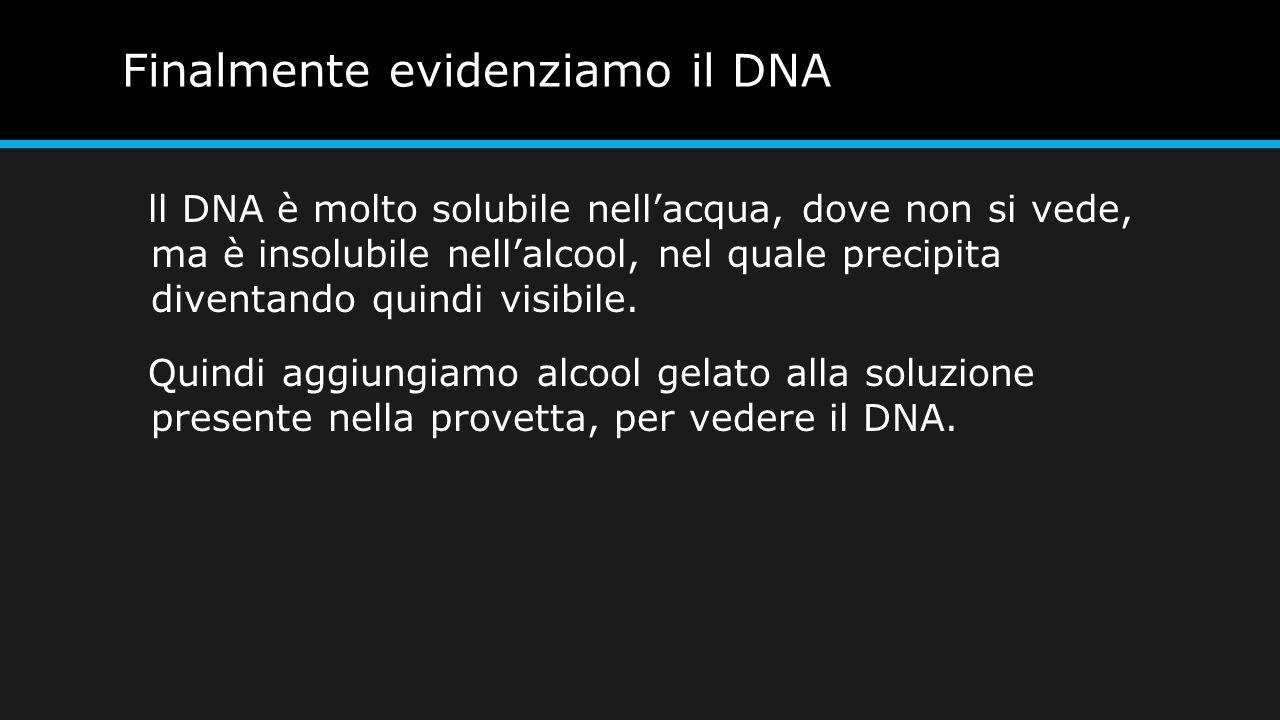 Finalmente evidenziamo il DNA ll DNA è molto solubile nell'acqua, dove non si vede, ma è insolubile nell'alcool, nel quale precipita diventando quindi