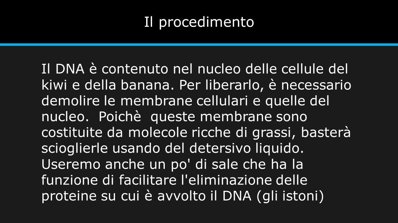 Il procedimento Il DNA è contenuto nel nucleo delle cellule del kiwi e della banana. Per liberarlo, è necessario demolire le membrane cellulari e quel