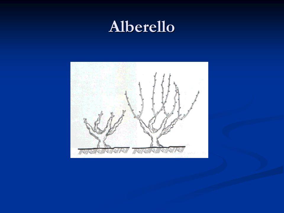 Alberello