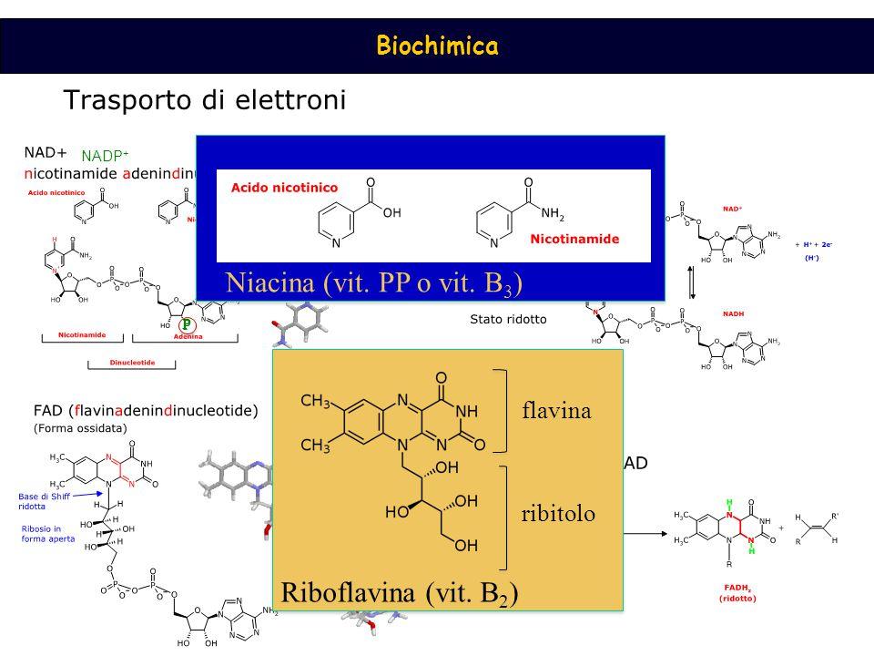 Biochimica NADP + P P P Niacina (vit. PP o vit. B 3 ) ribitolo flavina Riboflavina (vit. B 2 )