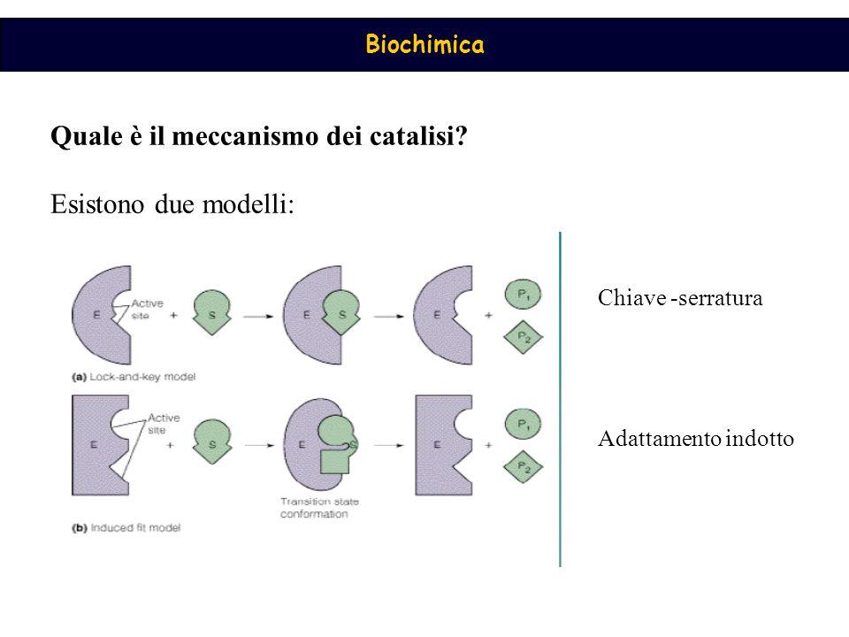 Biochimica Quale è il meccanismo dei catalisi? Esistono due modelli: Chiave -serratura Adattamento indotto