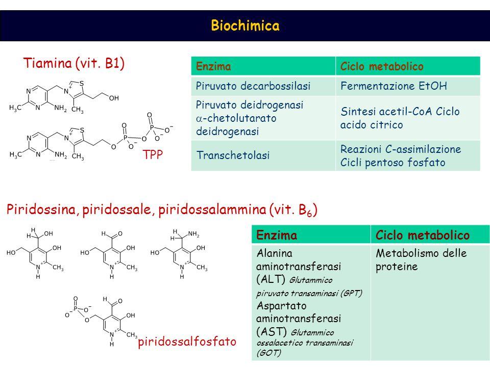 Biochimica EnzimaCiclo metabolico Piruvato decarbossilasiFermentazione EtOH Piruvato deidrogenasi  -chetolutarato deidrogenasi Sintesi acetil-CoA Cic