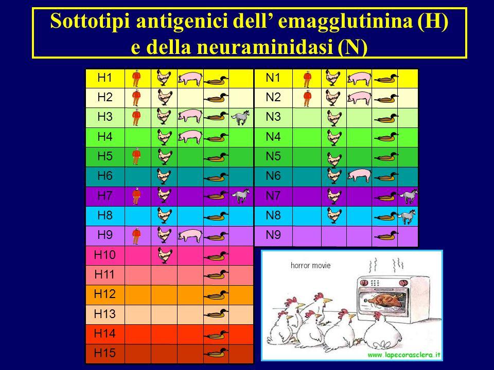 H15 H14 H13 H12 H11 H10 H9 H8 H7 H6 H5 H4 H3 H2 H1 N9 N8 N7 N6 N5 N4 N3 N2 N1 Sottotipi antigenici dell' emagglutinina (H) e della neuraminidasi (N)