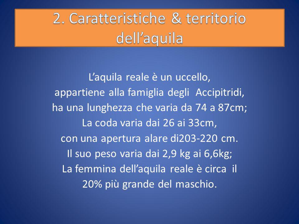 L'aquila reale è un uccello, appartiene alla famiglia degli Accipitridi, ha una lunghezza che varia da 74 a 87cm; La coda varia dai 26 ai 33cm, con una apertura alare di203-220 cm.
