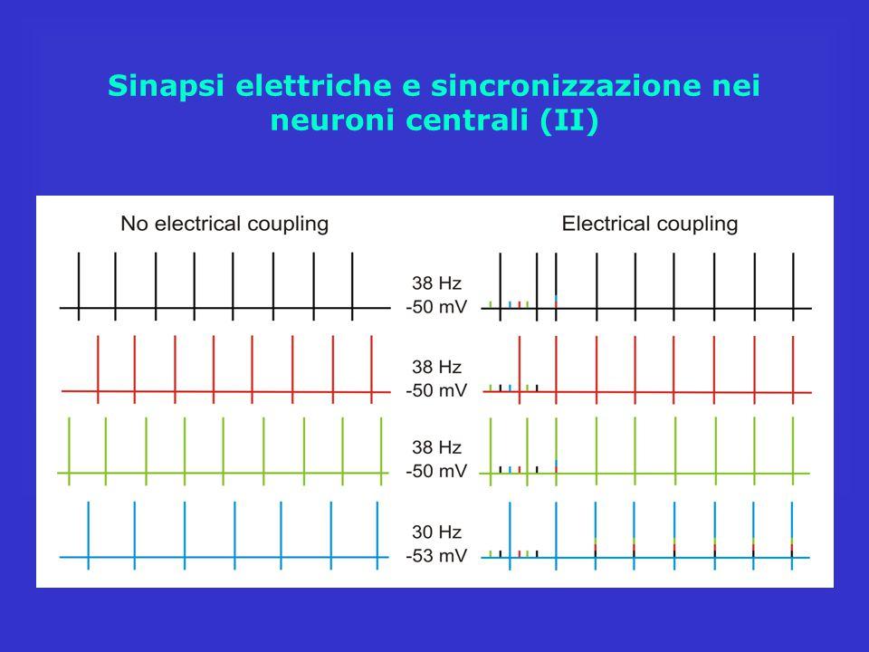 Sinapsi elettriche e sincronizzazione nei neuroni centrali (II)