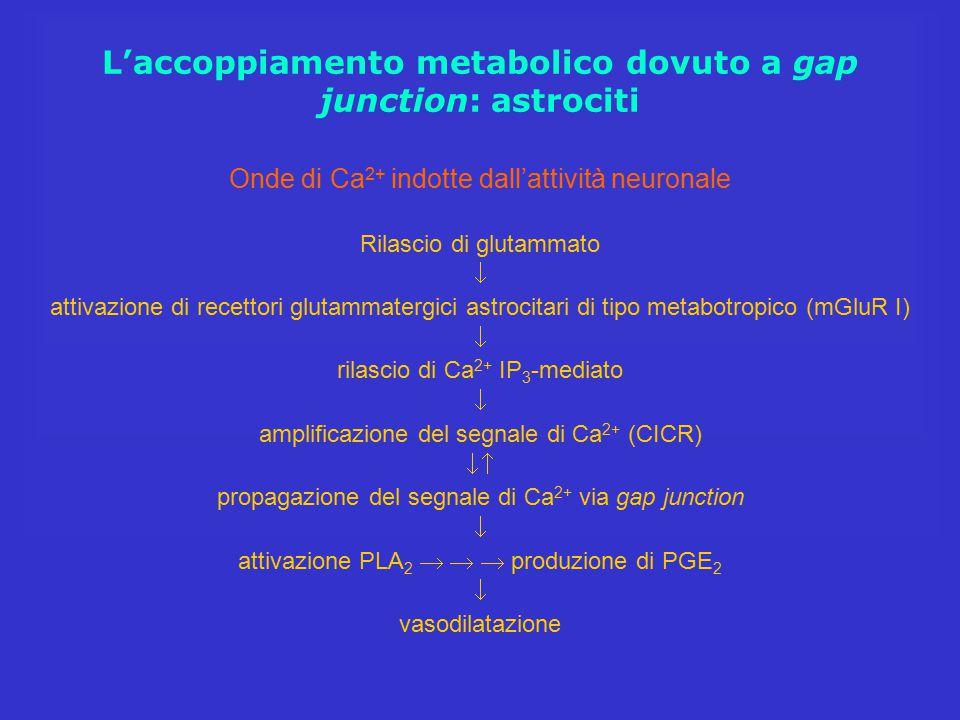 L'accoppiamento metabolico dovuto a gap junction: astrociti Onde di Ca 2+ indotte dall'attività neuronale Rilascio di glutammato  attivazione di rece