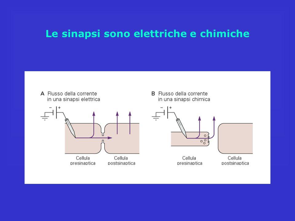 Le sinapsi sono elettriche e chimiche