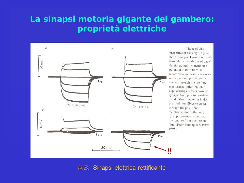 La sinapsi motoria gigante del gambero: proprietà elettriche N.B. N.B. Sinapsi elettrica rettificante !!