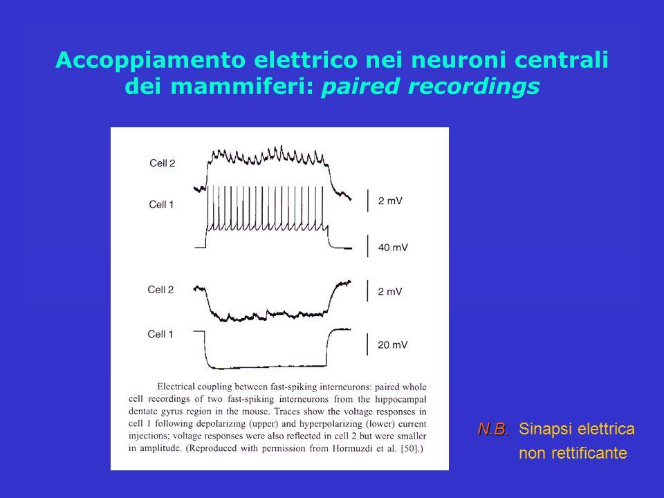Accoppiamento elettrico nei neuroni centrali dei mammiferi: paired recordings N.B. N.B. Sinapsi elettrica non rettificante