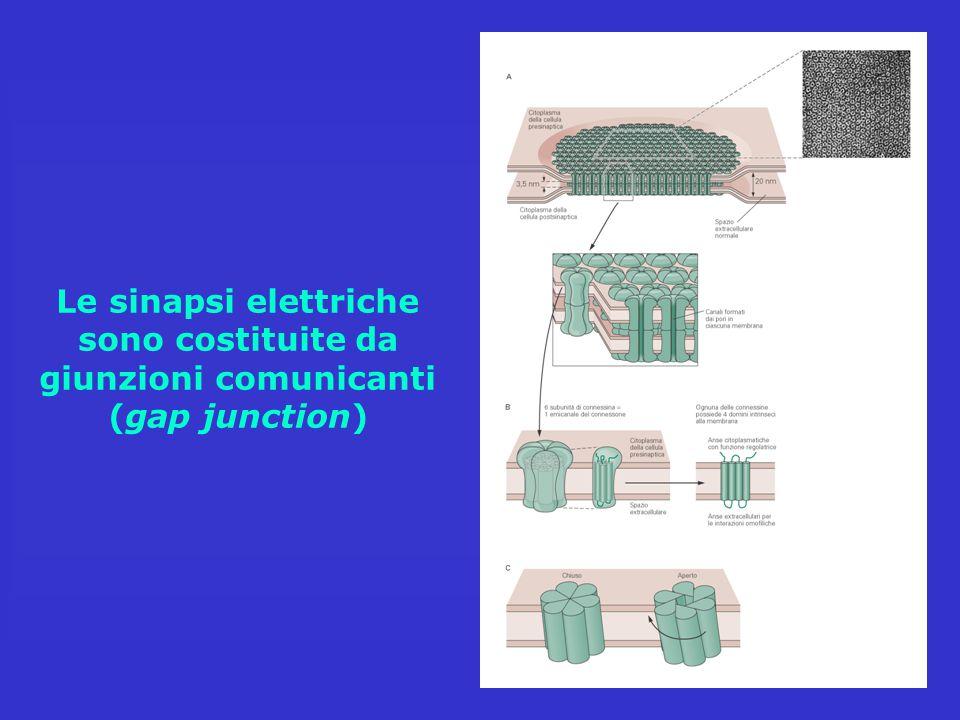 Le sinapsi elettriche sono costituite da giunzioni comunicanti (gap junction)