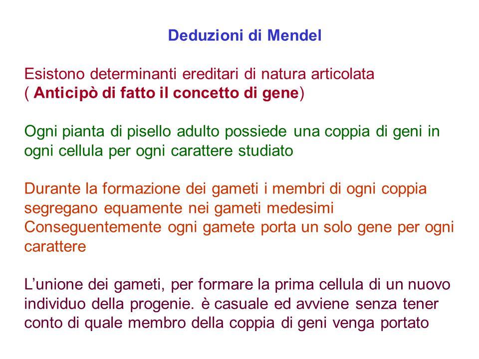 Deduzioni di Mendel Esistono determinanti ereditari di natura articolata ( Anticipò di fatto il concetto di gene) Ogni pianta di pisello adulto possie