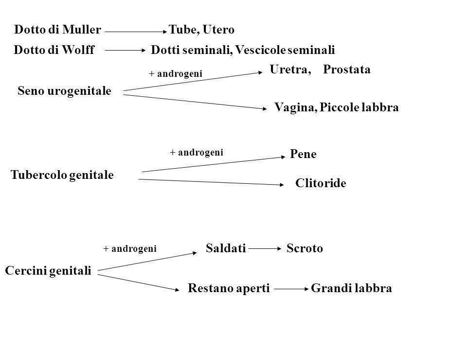 Dotto di Muller Tube, Utero Dotto di Wolff Dotti seminali, Vescicole seminali Seno urogenitale Uretra, Prostata Vagina, Piccole labbra Tubercolo genit