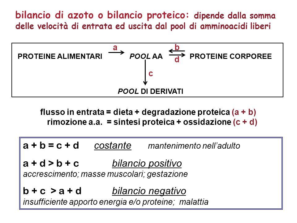 a + b = c + d costante mantenimento nell'adulto a + d > b + c bilancio positivo accrescimento; masse muscolari; gestazione b + c > a + d bilancio negativo insufficiente apporto energia e/o proteine; malattia flusso in entrata = dieta + degradazione proteica (a + b) rimozione a.a.