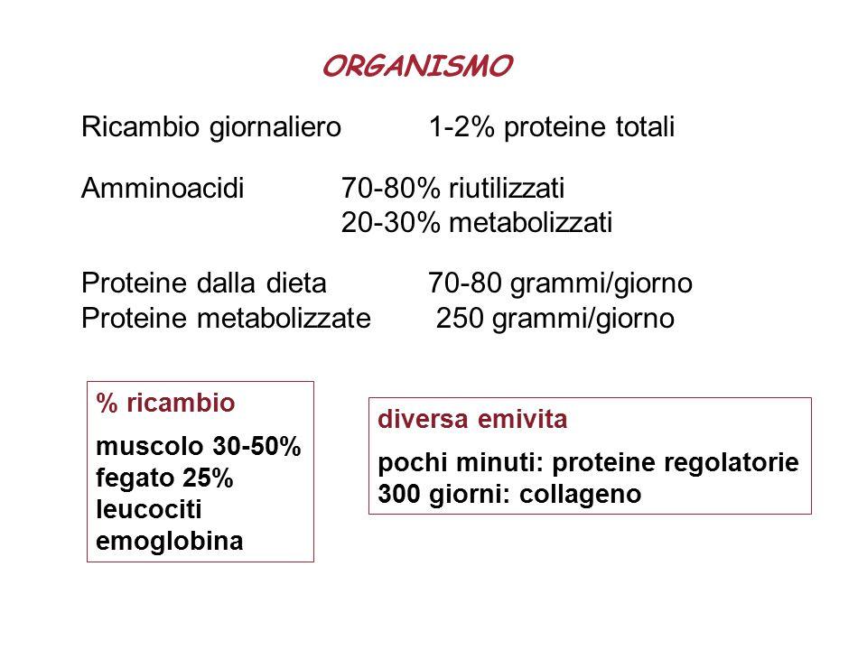 ORGANISMO Ricambio giornaliero 1-2% proteine totali Amminoacidi 70-80% riutilizzati 20-30% metabolizzati Proteine dalla dieta 70-80 grammi/giorno Proteine metabolizzate 250 grammi/giorno % ricambio muscolo 30-50% fegato 25% leucociti emoglobina diversa emivita pochi minuti: proteine regolatorie 300 giorni: collageno