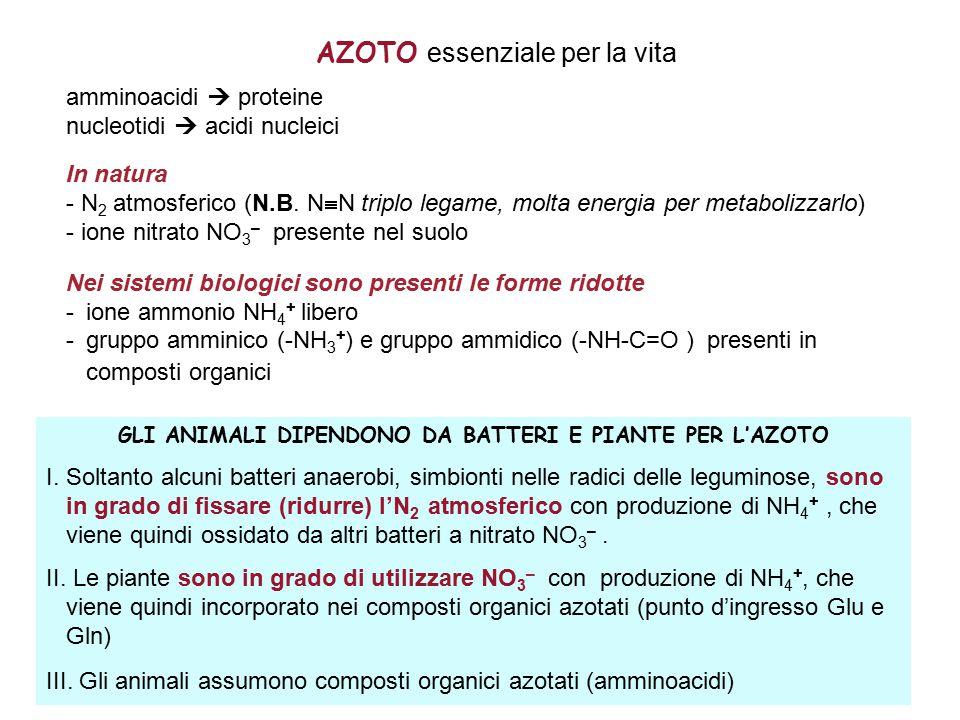 AZOTO essenziale per la vita amminoacidi  proteine nucleotidi  acidi nucleici In natura - N 2 atmosferico (N.B.