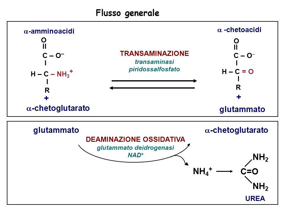 Flusso generale NH 4 + UREA NH 2 C=O NH 2 DEAMINAZIONE OSSIDATIVA glutammato deidrogenasi NAD + glutammato  -chetoglutarato  -amminoacidi O II C – O – I H – C – NH 3 + I R TRANSAMINAZIONE transaminasi piridossalfosfato  -chetoacidi O II C – O – I H – C = O I R glutammato + +  -chetoglutarato