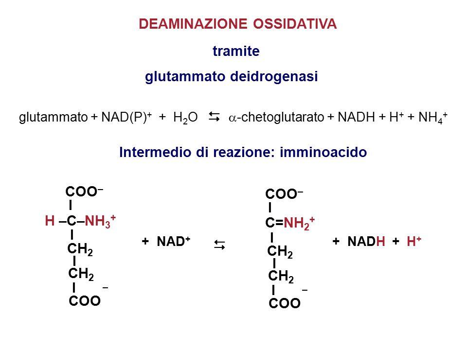 glutammato + NAD(P) + + H 2 O   -chetoglutarato + NADH + H + + NH 4 + tramite glutammato deidrogenasi DEAMINAZIONE OSSIDATIVA Intermedio di reazione: imminoacido COO – I I I I CH 2 COO – H –C–NH 3 + + NAD +  COO – I I I I CH 2 COO – C=NH 2 + + NADH + H +