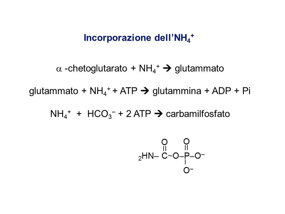 Incorporazione dell'NH 4 +  -chetoglutarato + NH 4 +  glutammato glutammato + NH 4 + + ATP  glutammina + ADP + Pi NH 4 + + HCO 3 – + 2 ATP  carbamilfosfato O O II I O – 2 HN– C ~ O–P–O –