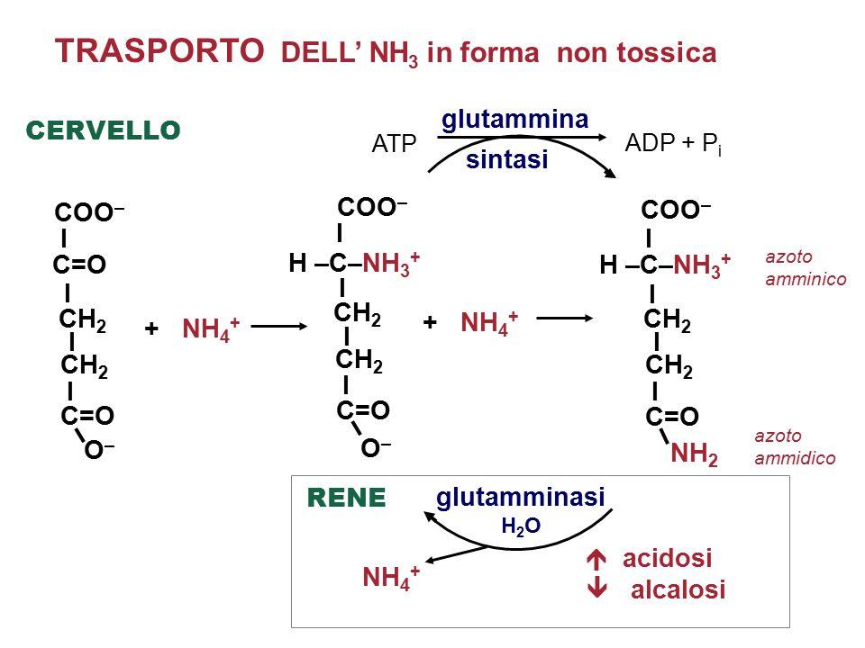 TRASPORTO DELL' NH 3 in forma non tossica  acidosi  alcalosi azoto ammidico azoto amminico + NH 4 + glutammina sintasi glutamminasi H 2 O COO – I C=O I I I CH 2 C=O O–O– H –C–NH 3 + COO – I I I I CH 2 C=O O–O– COO – I I I I CH 2 C=O NH 2 RENE CERVELLO NH 4 + + NH 4 + ATP ADP + P i H –C–NH 3 +