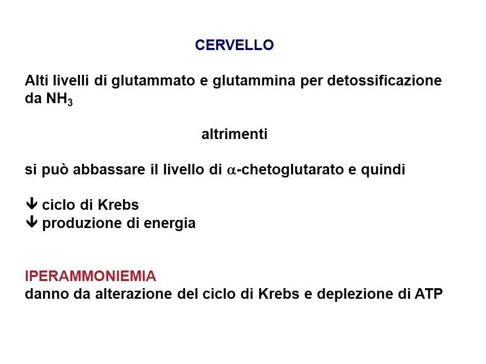 CERVELLO Alti livelli di glutammato e glutammina per detossificazione da NH 3 altrimenti si può abbassare il livello di  -chetoglutarato e quindi  ciclo di Krebs  produzione di energia IPERAMMONIEMIA danno da alterazione del ciclo di Krebs e deplezione di ATP