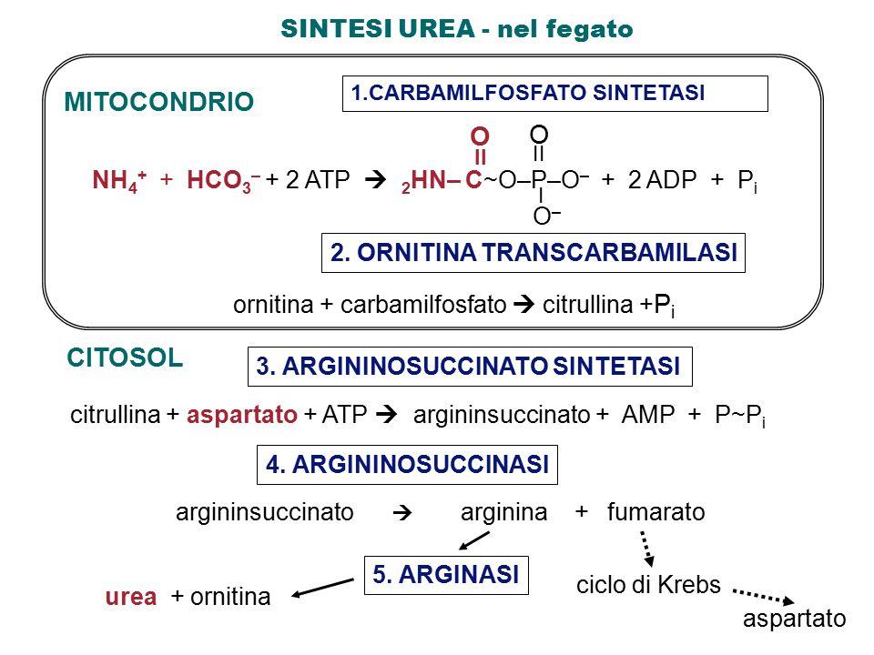 SINTESI UREA - nel fegato CITOSOL citrullina + aspartato + ATP  argininsuccinato + AMP + P~P i 3.