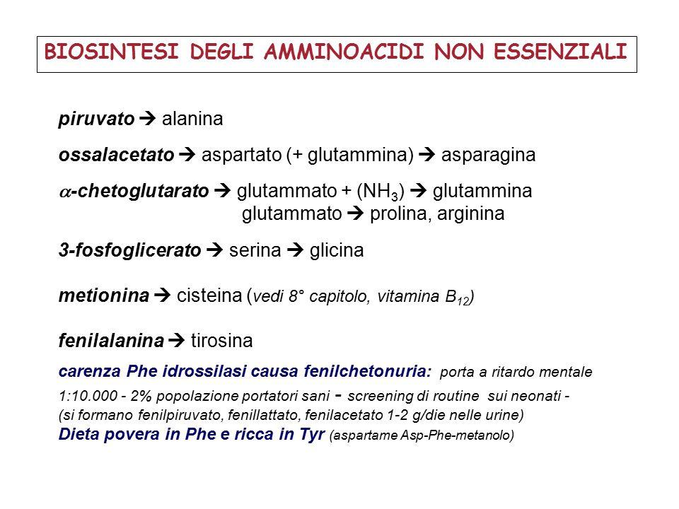 BIOSINTESI DEGLI AMMINOACIDI NON ESSENZIALI piruvato  alanina ossalacetato  aspartato (+ glutammina)  asparagina  -chetoglutarato  glutammato + (NH 3 )  glutammina glutammato  prolina, arginina 3-fosfoglicerato  serina  glicina metionina  cisteina ( vedi 8° capitolo, vitamina B 12 ) fenilalanina  tirosina carenza Phe idrossilasi causa fenilchetonuria: porta a ritardo mentale 1:10.000 - 2% popolazione portatori sani - screening di routine sui neonati - (si formano fenilpiruvato, fenillattato, fenilacetato 1-2 g/die nelle urine) Dieta povera in Phe e ricca in Tyr (aspartame Asp-Phe-metanolo)