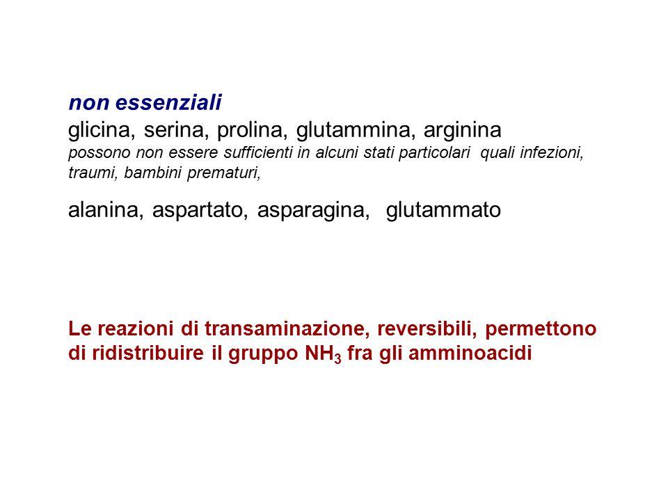 non essenziali glicina, serina, prolina, glutammina, arginina possono non essere sufficienti in alcuni stati particolari quali infezioni, traumi, bambini prematuri, alanina, aspartato, asparagina, glutammato Le reazioni di transaminazione, reversibili, permettono di ridistribuire il gruppo NH 3 fra gli amminoacidi