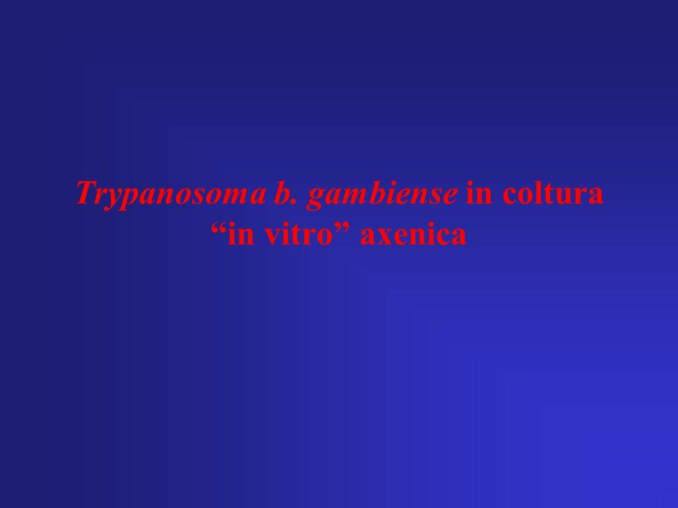 """Trypanosoma b. gambiense in coltura """"in vitro"""" axenica"""