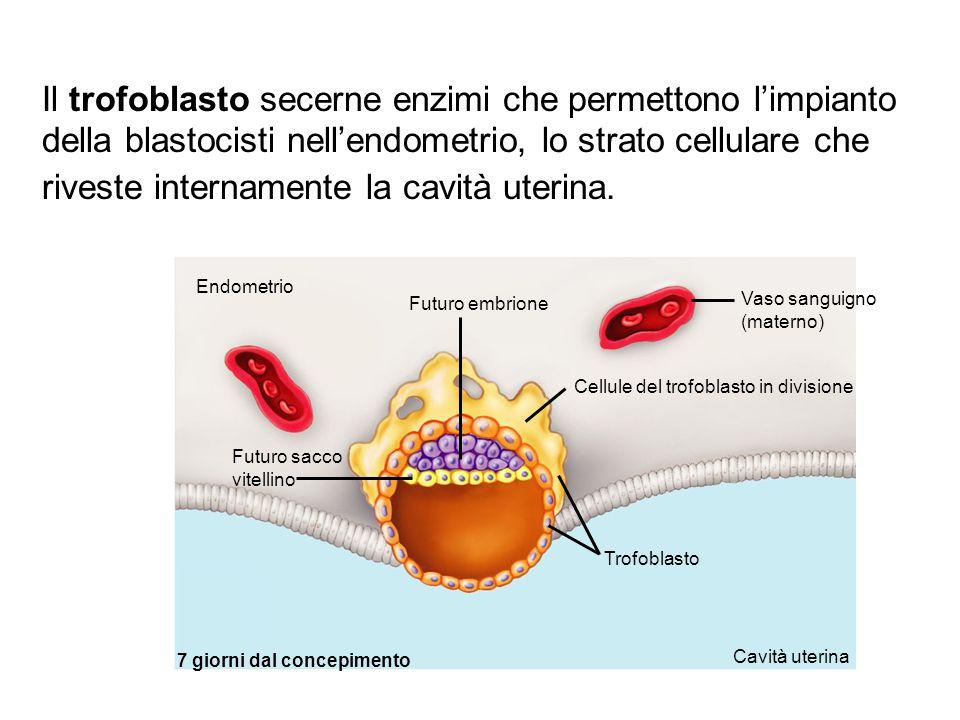 Il trofoblasto secerne enzimi che permettono l'impianto della blastocisti nell'endometrio, lo strato cellulare che riveste internamente la cavità uter