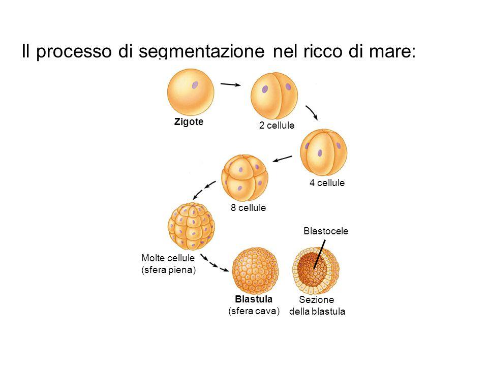 Il processo di segmentazione nel ricco di mare: Zigote 2 cellule 4 cellule 8 cellule Molte cellule (sfera piena) Blastula (sfera cava) Sezione della b
