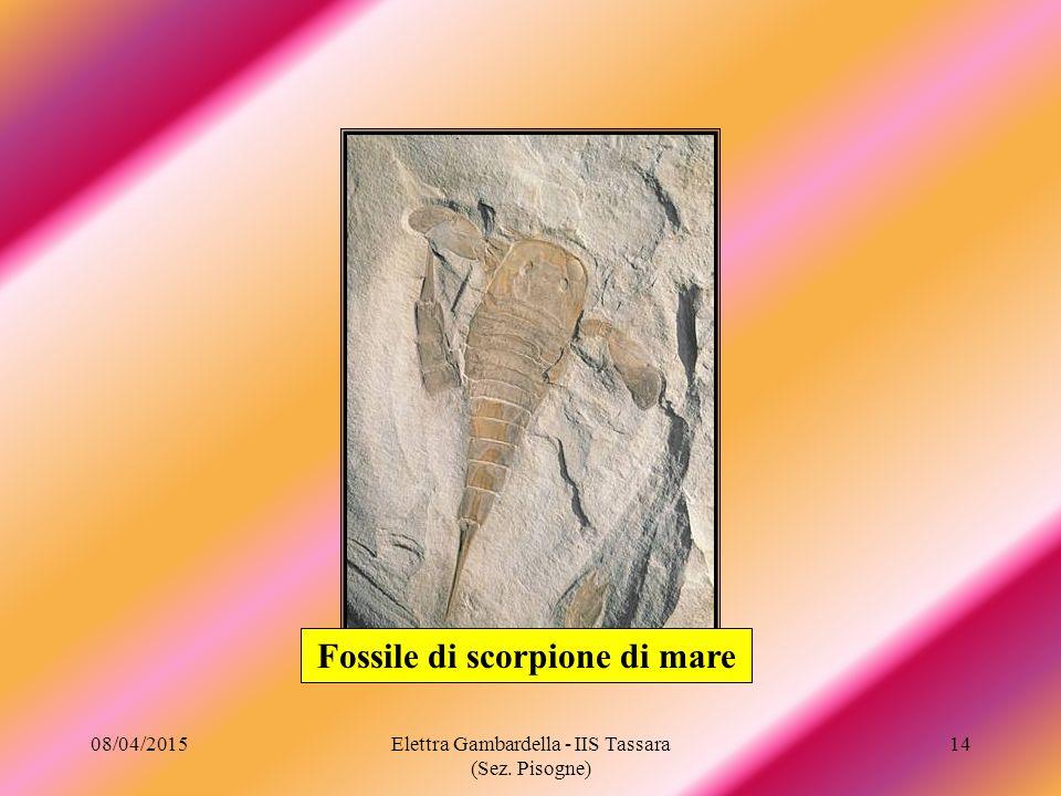 Fossile di scorpione di mare 08/04/201514Elettra Gambardella - IIS Tassara (Sez. Pisogne)